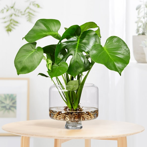 Monstera care - water base