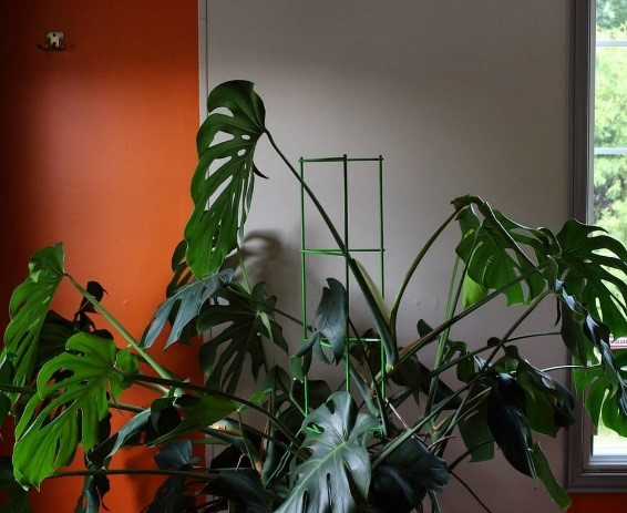 Monstera Care Guide - How to grow a huge Monstera fast  |