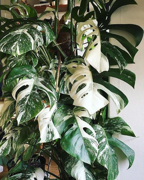 Monstera Deliciosa Variegata 'thai constellation'