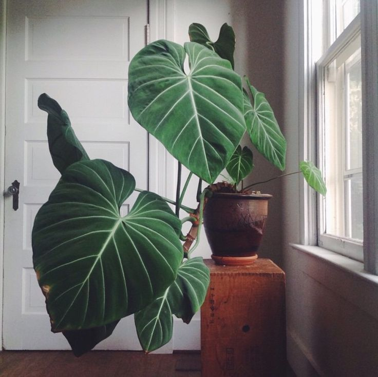 Philodendron Gloriosum - House Plants