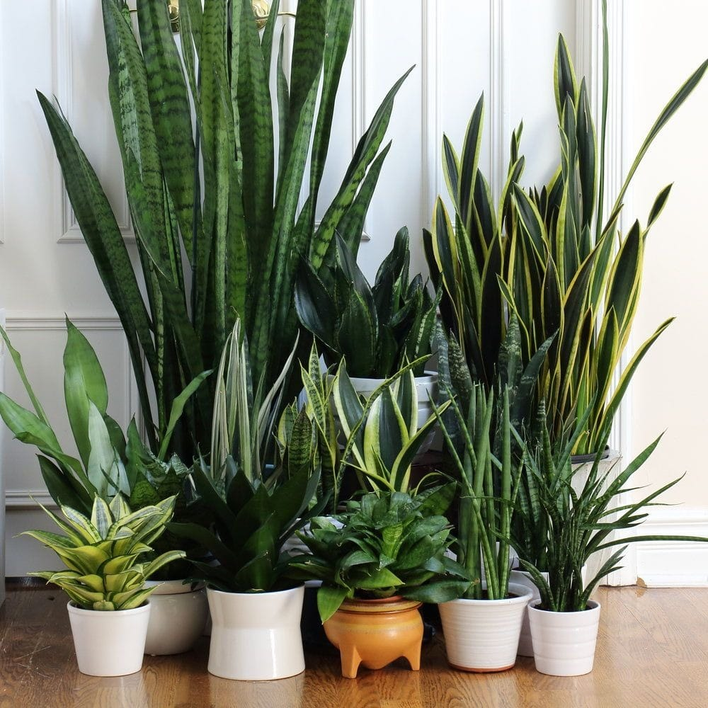 Sanseveria collection